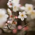 Photos: 梅東慶寺150315-2415