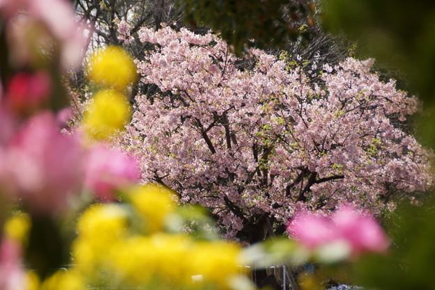 玉縄桜150322-8835