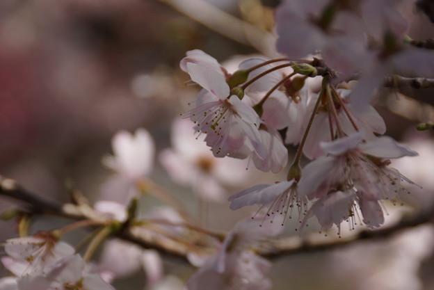 写真: 春めき咲く150322-8265