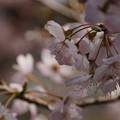 Photos: 春めき咲く150322-8265
