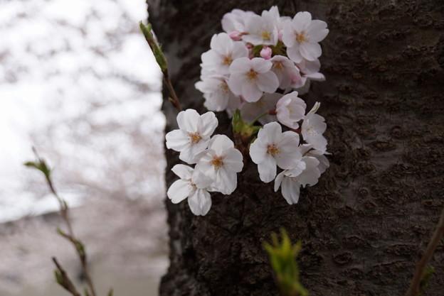 写真: 古木に桜!2015
