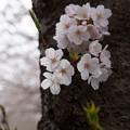 Photos: 古木に桜!2015