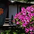 写真: 雨水鉢とツツジ150502-4465