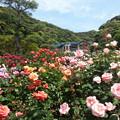 写真: 鎌倉文学館春バラまつり2015