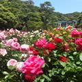 写真: 鎌倉文学館春バラまつり2015b