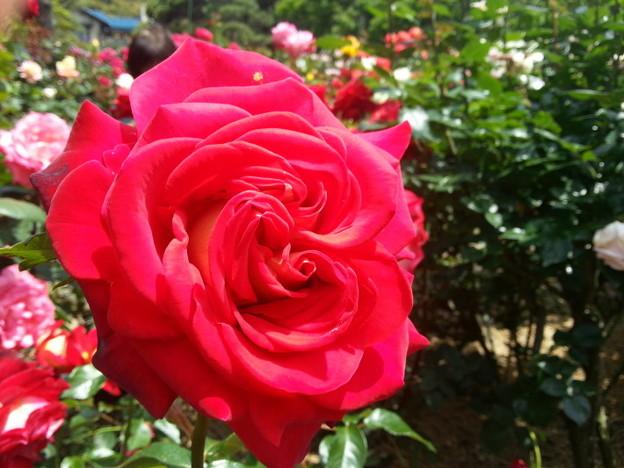 写真: 真紅の春バラ!2015