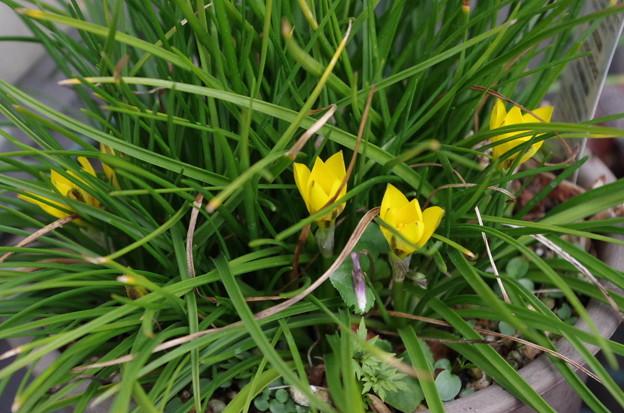 黄花ハナニラ
