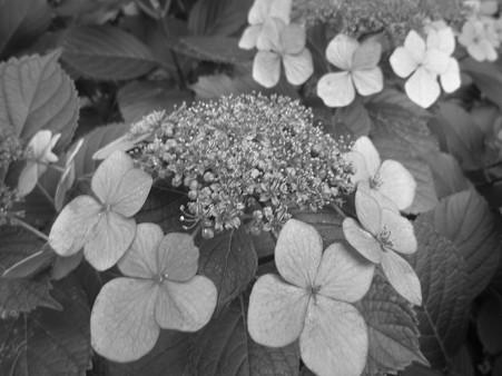 紫陽花 白黒