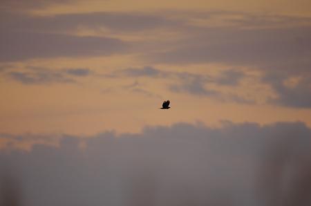 青空と遠くのノスリ