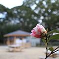 Photos: 岡山後楽園の椿