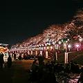 さくらみち 夜桜