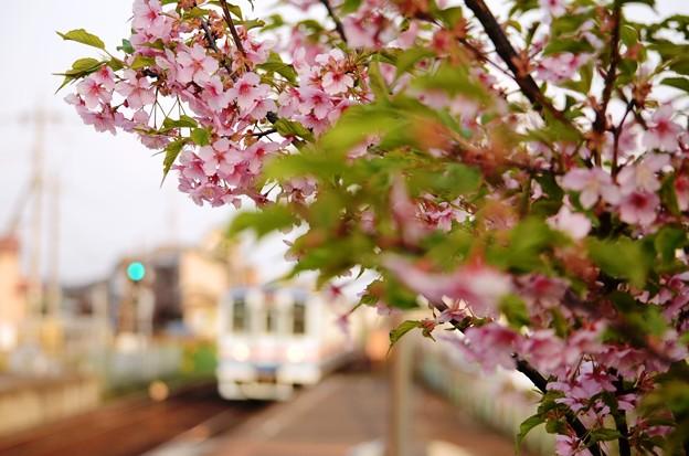 常総線稲戸井駅の河津桜