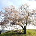 Photos: 丘の上の桜