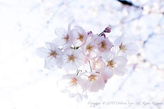 Photos: Sakura-0583