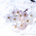 写真: Sakura-0583