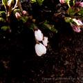 Photos: Sakura-0586