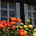 写真: 窓際の薔薇