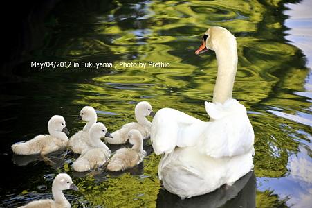 2012 白鳥親子 (2)