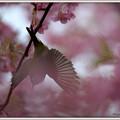 写真: 河津桜 メジロ