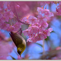 写真: 河津桜 逆さメジロ