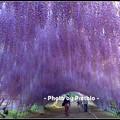 写真: 2015年 河内藤園?