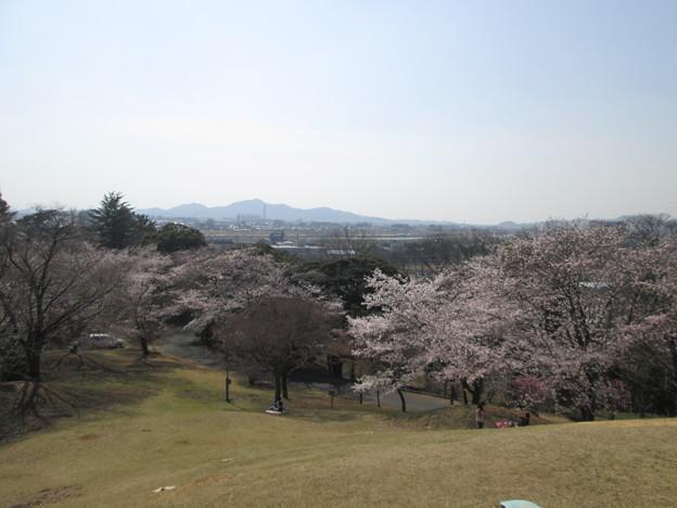 Photos: 足利公園の桜?2015.3.30