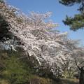 写真: 足利公園の桜?2015.3.30