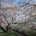 足利千歳町袋川の桜?2015.3.30