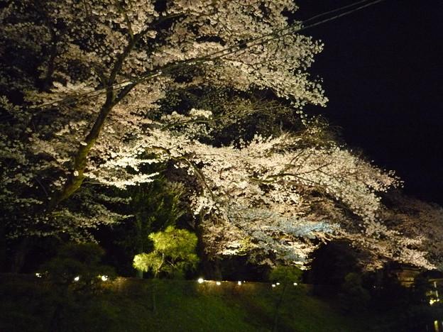 写真: 足利の鑁阿寺の夜桜2015.4.2