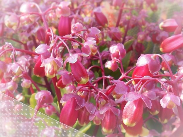 Photos: 春めき時めき華やぐ春色ブーケ ♪ カランコエ・ウェンディ