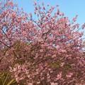 写真: 千光寺山の早咲き桜はもう満開 ♪