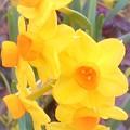 写真: 春の野に咲く七つの黄水仙 Seven Daffodils ♪