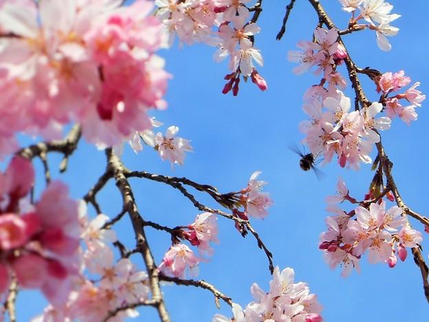 三春滝桜(子孫樹)に早くも蜜活が ♪