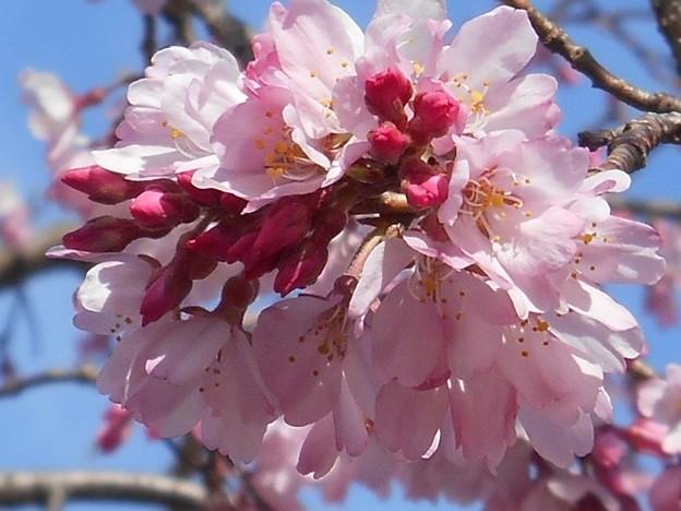 福島の三春滝桜(子孫樹)艶やか ♪
