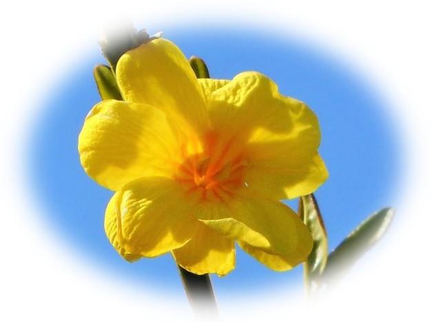 山吹色に咲くウンナンオウバイの花 ♪