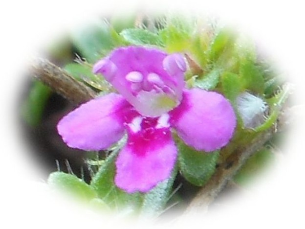 タイムの不思議な小花