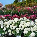 Photos: ばら花壇の一角からの眺め ♪