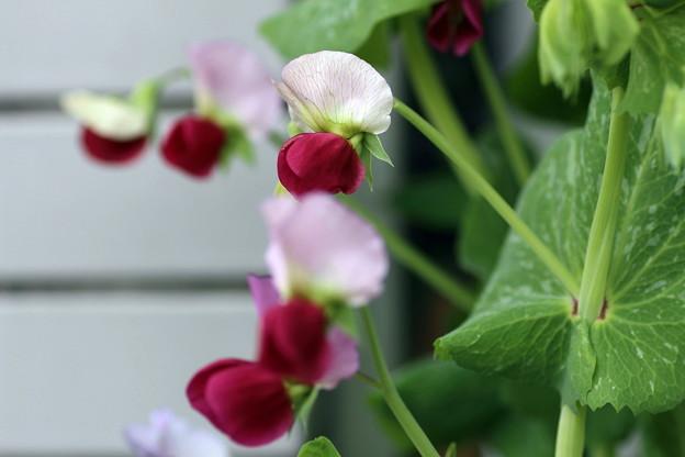 豆の花(2)
