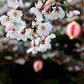 写真: 花見の桜
