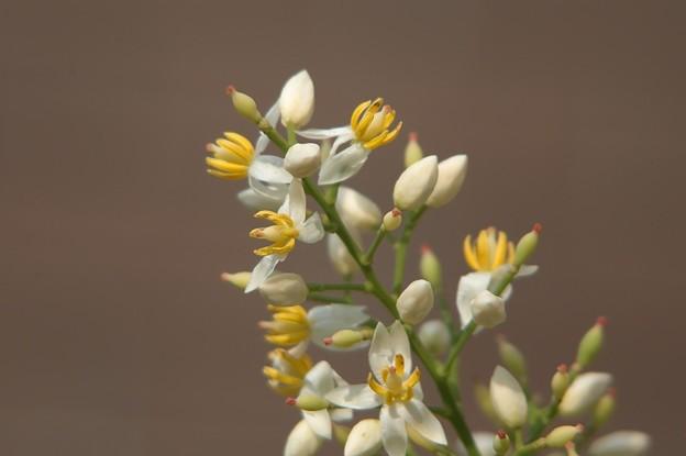 ナンテンの花