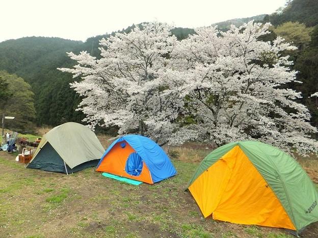 桜の下のテント