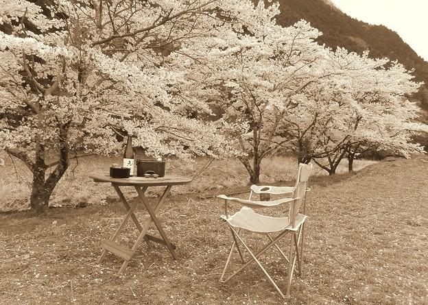 燗銅壺と桜