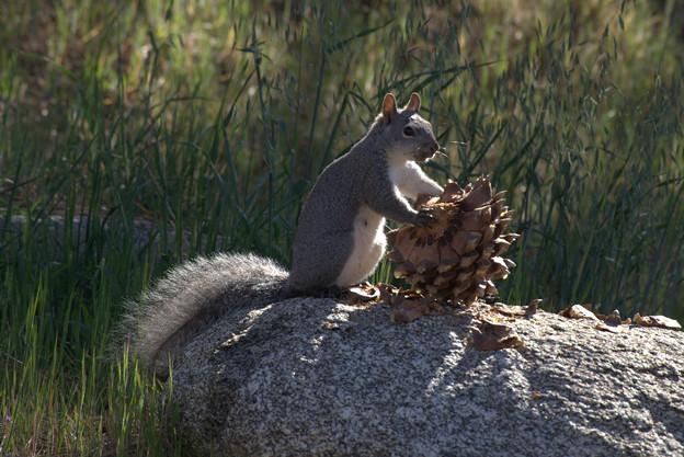 Eastern Gray Squirrel (3)