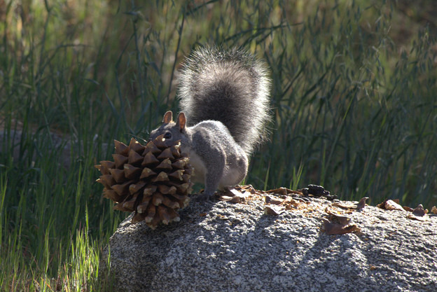 Eastern Gray Squirrel (4)