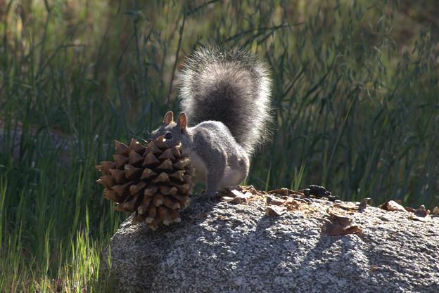 Eastern Gray Squirrel (4)