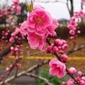 Photos: 桃