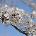 Photos: お気に入りの31日の桜 6