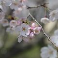 Photos: お気に入りの31日の桜 7