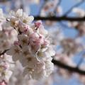 Photos: お気に入りの31日の桜 8