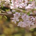 写真: 東慶寺の桜